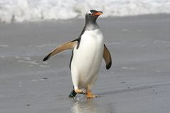 Gentoo penguin walking on the beach Stock Photo