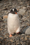 Gentoo Penguin. Walking on beach, Antarctica Stock Image