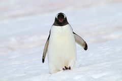 Gentoo penguin walking in snow, Antarctica Stock Photos