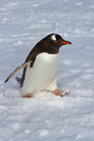 Gentoo penguin walking on snow overcast Royalty Free Stock Photography