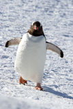 Gentoo penguin walking through the snow Stock Photos