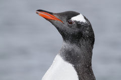 Gentoo penguin with water pearls, Antarctica Royalty Free Stock Photography