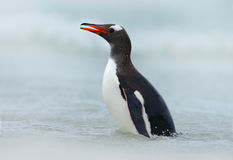 Gentoo penguin, water sea bird jumps out of the blue water while swimming through the ocean in Falkland Island Stock Photo