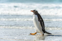 Gentoo penguin and a wave. Stock Photo