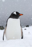Gentoo penguin which stands on a snow-covered beach during a sno Royalty Free Stock Photography