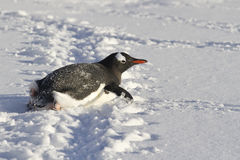 Gentoo penguin who crawls on his belly Royalty Free Stock Photography