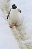 Gentoo penguin who goes on the trail spring Royalty Free Stock Image