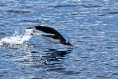 Gentoo penguin who jumps out of the water swimming Royalty Free Stock Photography