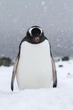 Gentoo penguin who stands in the snow Stock Images