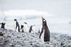 Gentoo penguin. In wildlife antarctica Royalty Free Stock Image