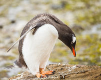 Gentoo penguin Royalty Free Stock Image