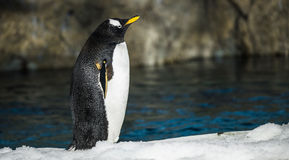 Gentoo Penguin Stock Images