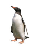 Gentoo Penguin With Clipping Path Royalty Free Stock Images