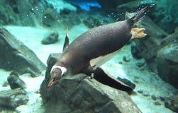Gentoo Penguin. (15) Royalty Free Stock Photo