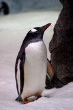 Gentoo Penguin. (6) Royalty Free Stock Images