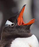 Gentoo penguin yawning, Antarctica Stock Photography