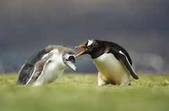 Gentoo penguin yelling at a chick for a poor behavior stock photo