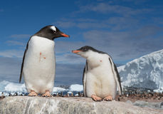 Gentoo penguin with young. Gentoo penguin feeding young one Royalty Free Stock Image