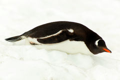Gentoo penguine, lying in snow, Antarctica Royalty Free Stock Images