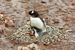 Gentoo penguine matka z pisklęcym obsiadaniem w gniazdeczku Obraz Royalty Free