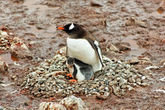 Gentoo penguine mother with chick sitting in nest Royalty Free Stock Image