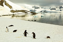 Gentoo penguines in front of lake in Antarctica Royalty Free Stock Photos