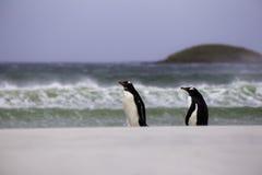 2 Gentoo Penguins που περπατά από τα σπάζοντας κύματα Νησί των Νησιών Φόλκλαντ Στοκ Φωτογραφίες