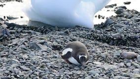 Gentoo Penguins στην παραλία φιλμ μικρού μήκους