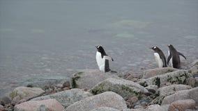 Gentoo Penguins στην παραλία απόθεμα βίντεο