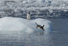Gentoo Penguins. On the ice Antarctica 2007 royalty free stock photo