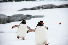 Gentoo penguins Στοκ εικόνες με δικαίωμα ελεύθερης χρήσης