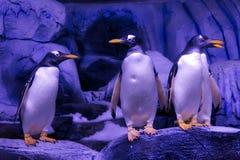 Gentoo penguins Στοκ Φωτογραφίες