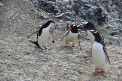 Gentoo Penguins. Adelie penguin Royalty Free Stock Image