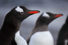 Gentoo penguins, Antarctica Stock Photos