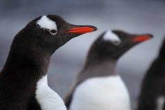 Gentoo penguins, Antarctica Stock Photos