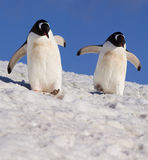 Gentoo Penguins - Antarctica. Two Gentoo Penguins (Pygoscelis papua) walking in snow on Danko Island in Antarctica