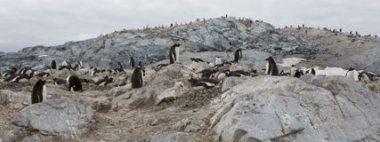 Gentoo penguins, Antarctica. Stock Photos