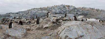 Gentoo penguins, Antarctica. stock photos