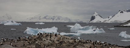 Gentoo penguins on Antarctica. royalty free stock images