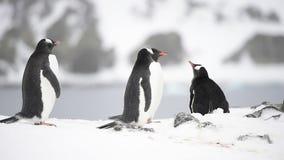 Gentoo Penguins in Antarctica stock video