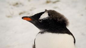 Gentoo penguins in Antarctica on Cuverville Island. stock images