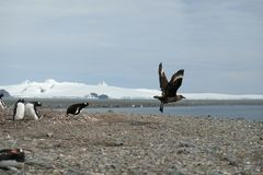 Antarctica Gentoo penguins chase away a skua from their nest stock images