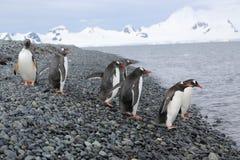 Gentoo penguins in Antarctica. Gentoo penguins (Pygoscelis papua) in Antarctica, running towards water Stock Image