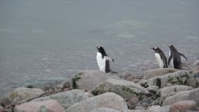 Gentoo Penguins on the beach stock video footage