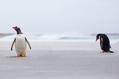 Gentoo Penguins on the beach with surf in background. Royalty Free Stock Photo