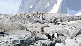 Gentoo Penguins on the bech stock footage