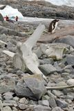 Gentoo penguins behind a whale bone royalty free stock photography