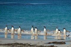 Gentoo Penguins - Bleaker Island - Falkland Islands Royalty Free Stock Photos