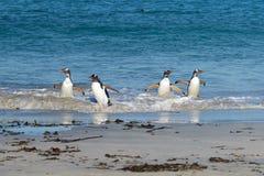 Gentoo Penguins - Bleaker Island - Falkland Islands Stock Image