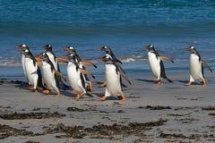 Gentoo Penguins - Bleaker Island - Falkland Islands Stock Photo